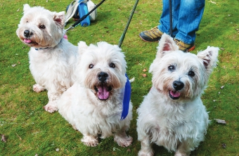 BARKING MAD TO HAVE MISSED IT - this trio of Westies were in action during the Dog Show