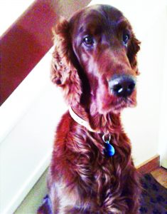 p5-ralph-the-irish-setter